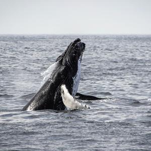 croisières aux baleines